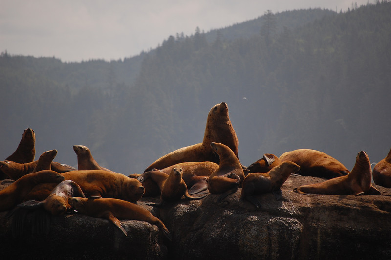 near cape flattery, steller sea lions