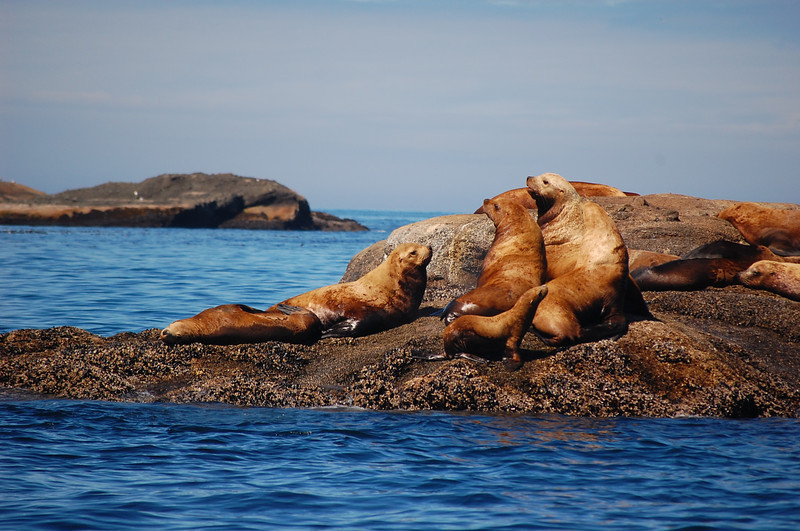 near cape flattery, steller sea lions