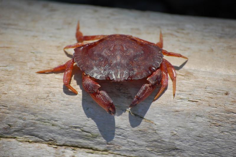 crab on log