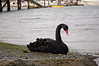 black swan lopez (was escaped from private exotic bird collection, it turns out)