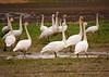 swans? Snow geese? Skagit valley