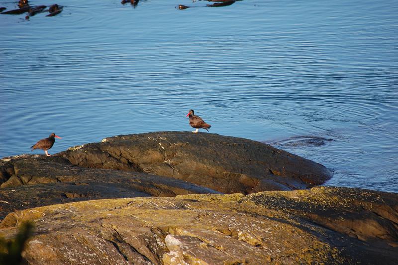 oystercatchers lopez