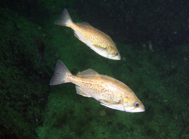 widowrockfish_jannanichols