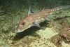 spottedratfish_jannanichols