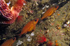 764-5026522i<br /> Rockfish<br /> Ladies in waiting - Pregnant Puget Sound Rockfish