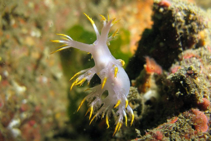 762-5026548i<br /> Nudibranchs<br /> Variable Dendronotid