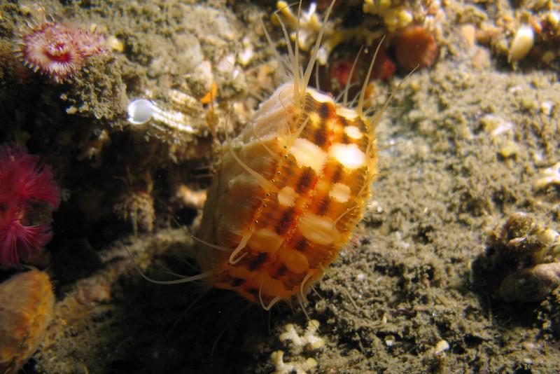 763-5026519i<br /> Mollusc or Bivalve<br /> Swimming Scallop