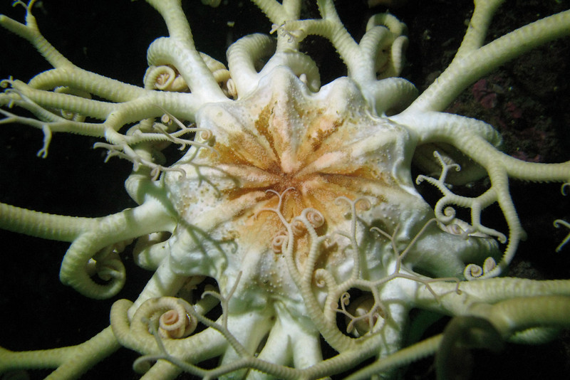 766-5026547i<br /> Sea Star<br /> Basket Star