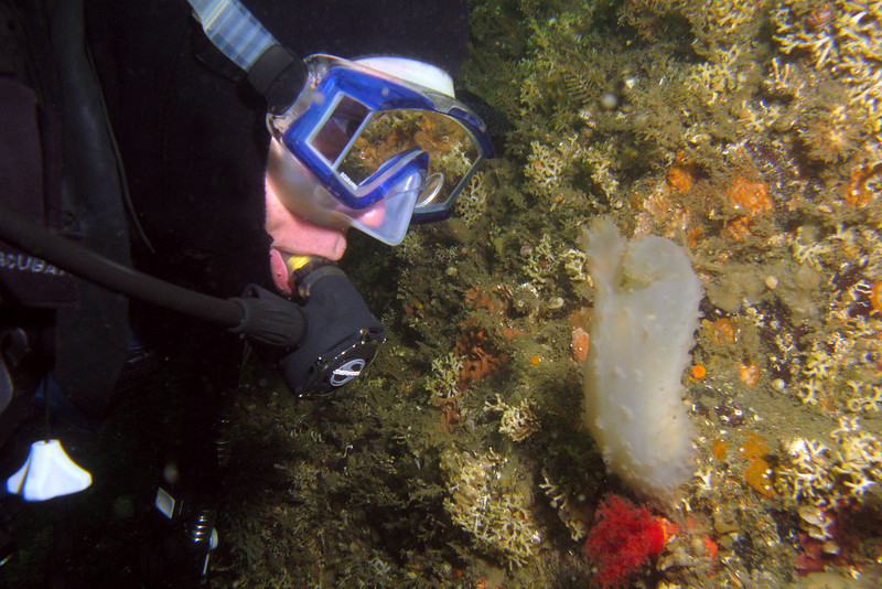 763-5026523i<br /> Tunicate or Worm<br /> Diver observing a Glassy Sea Squirt