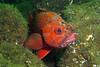 761-5026512i<br /> Rockfish<br /> Vermilion Rockfish