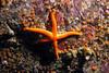 762-5026516i<br /> Sea Star<br /> Blood Star on Orange Social Ascidians