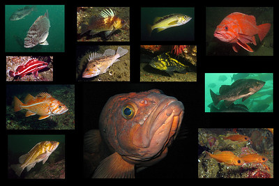 Rockfish Cover Shots