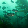 kelpforest_jannanichols