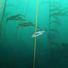kelpforest2_jannanichols