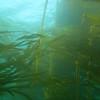 kelpforest4_jannanichols