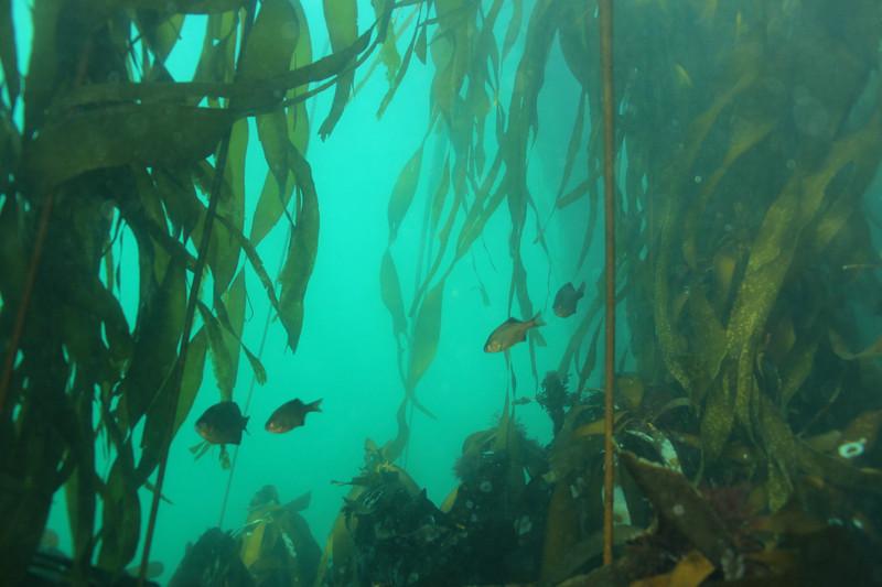 kelpforest3_jannanichols