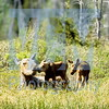 Canadian Moose Cow with twin calves - Photo taken by Bill Silliker Jr. – Ced Alexander's Photos