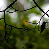 Hummingbird taking a quick rest on a windy day.<br /> <br /> Artlink 'Great Outdoors Exhibit.' (9/6-10/9)