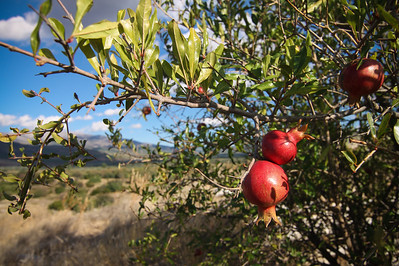 Pomegranates grow wild on an untended tree above the theatre in the antique city of Aphrodisias.
