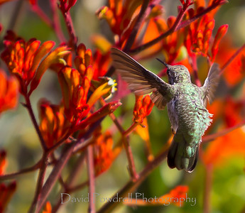 Hummingbird and Kangaroo Paws