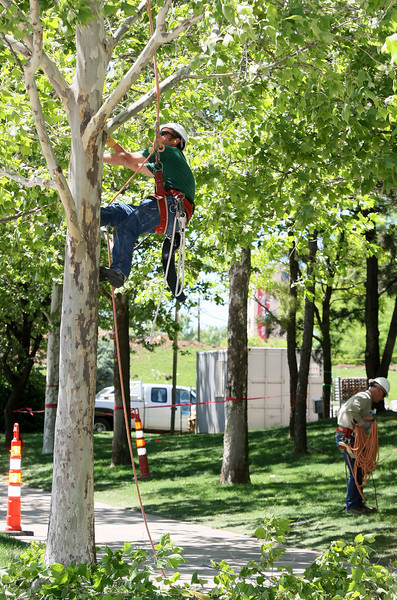 Zack Mitchell, owner of Professinal Tree Care, works on cutting the trees in the Myriad Botanical Gardens Tuesday. PHOTO BY MAIKE SABOLICH