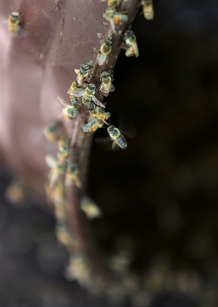 Honeybees clean out a metal canister from honey left-overs.  PHOTO BY MAIKE SABOLICH