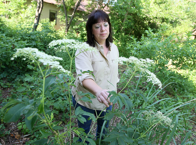 Melynda Hickman, the state Department of Wildlife Conservation's wildlife diversity biologist in charge of Oklahoma's backyard wildscaping program, checks out elderberries in bloom behind her office at the Oklahoma City Zoo. Elderberries are plants she suggests to attract birds.  PHOTO BY MAIKE SABOLICH