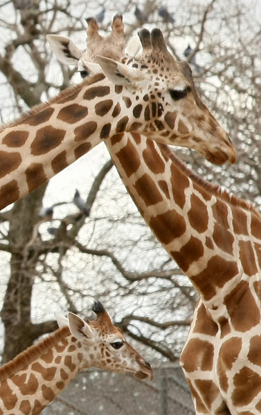 Oklahoma City Zoo's baby girraffe with an adult. PHOTO BY MAIKE SABOLICH