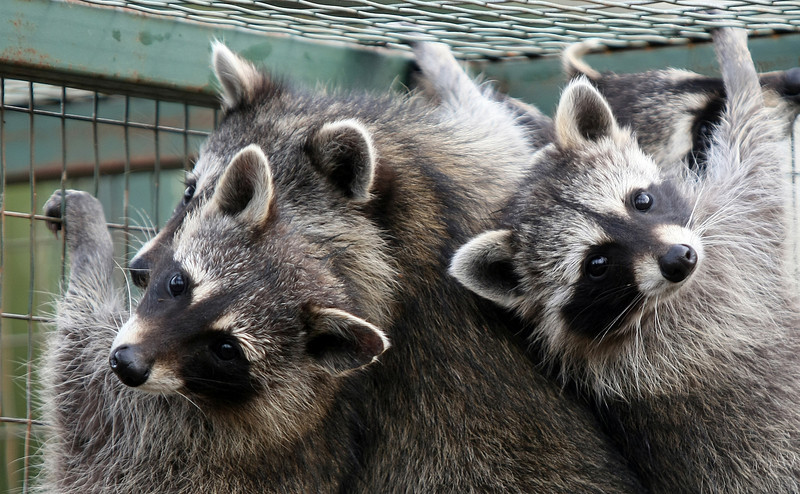 Young racoons at WildCare Foundation in Noble. The non-profit organization has an Open House event this Sunday between 2 p.m. and 5 p.m., one of two times during the year when the facilities are available for public tours. PHOTO BY MAIKE SABOLICH