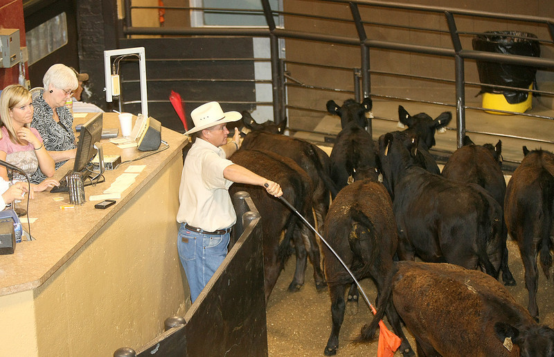 Cow auction at the stockyards. PHOTO BY MAIKE SABOLICH