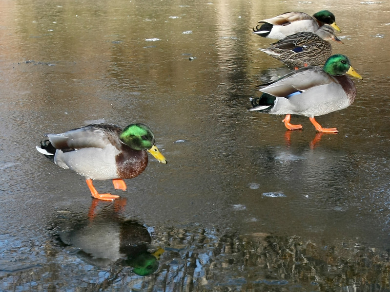 Ducks wallk on the frozen Bricktown Canal Thursday. PHOTO BY MAIKE SABOLICH