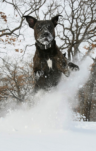 Dog jumping in the snow in a neighborhood in Bethany. PHOTO BY MAIKE SABOLICH