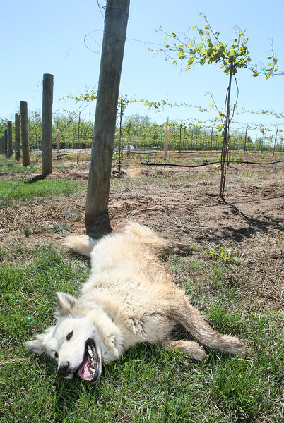 Dog relaxes in the sun at Rosebrook Vineyards. PHOTO BY MAIKE SABOLICH