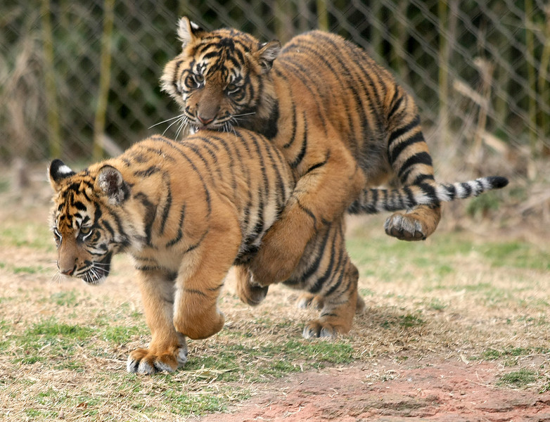 Playful tiger cubs at the Oklahoma City Zoo. PHOTO BY MAIKE SABOLICH
