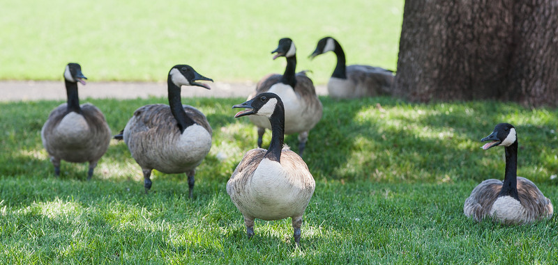 Geese gather in the shade at Chesapeak to pant in an effort to cool off.