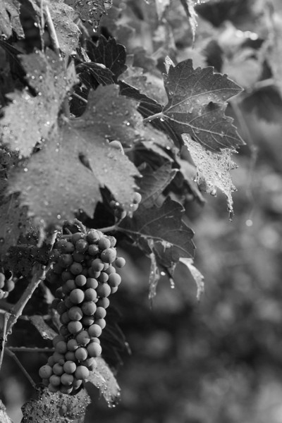 Grapes still hanging on the vine at Strebel Creek Vineyard located in northwest Oklahoma City.