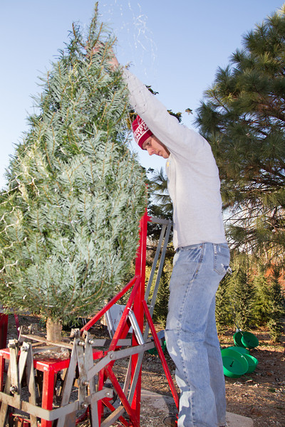 A n employee prepares the base of a tree at Sorgam Mill Christmas tree Farm. The tree farm is owned by John Knight and has been in business for 34 years.