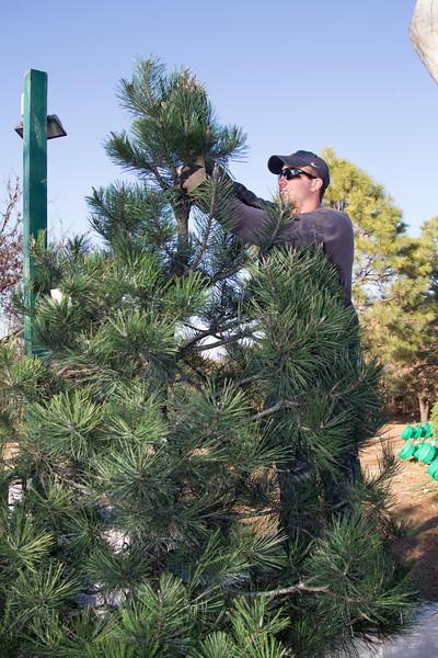 An employee at Sorgam Mill Christmas Tree Farm uses a tree shaker to remove loose needle from a customers tree. The tree farm is owned by John Knight and has been in business for 34 years.