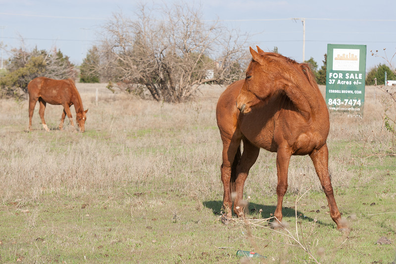 Horses on land for sale at Penn and NW 150th in Oklahoma CIty