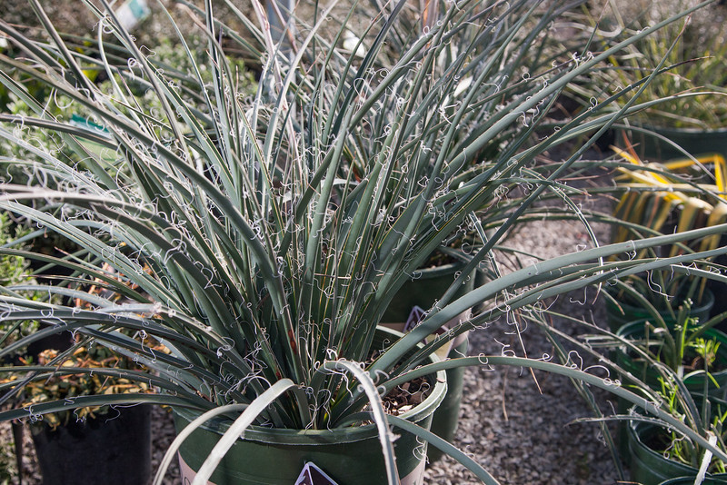 A red yucca at TLC Nursery. The red yucca is a drought resistant plant that can handle extreme tempatures, even as low as -20 degrees.