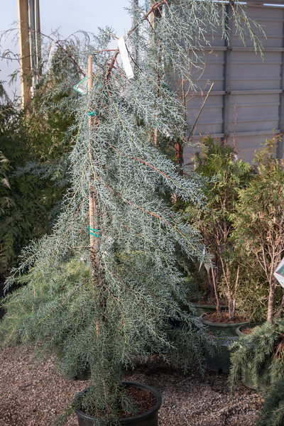 A pyramidal blue cypress tree at TLC Nursery. This is a drought resistance tree that stays green all year long.