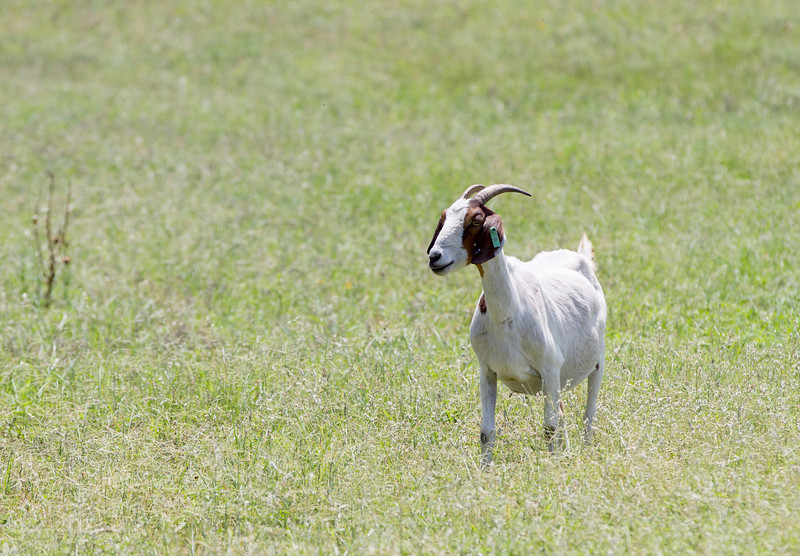 A goat grazing on a small farm near Jones, OK.