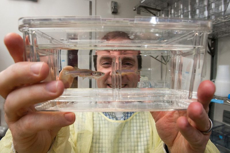 Dr Chris Sansam displays zebra fished used for research at the Oklahoma Medical Research Foundation in Oklahoma City.