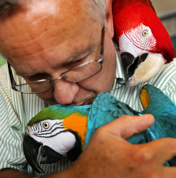 Jim Geurin the President of the Oklahoma Avicultural Society gives his pet macaws Bernie (Blue) and Belle(Red) a hello kiss after returning from work.
