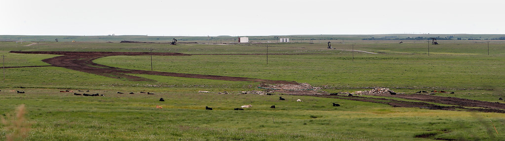 In Osage County cattle graze in a field plowed to install wind farm infrastructure. Legislators and officials with the energy industry want more study into the development of the wind sector in Oklahoma.