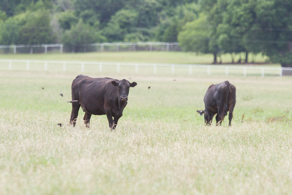 Cattle grazing in eastern Oklahoma County.