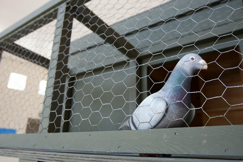The American Pigeon Museum is opening June 13 at 2300 NE 63rd in Oklahoma City, OK.