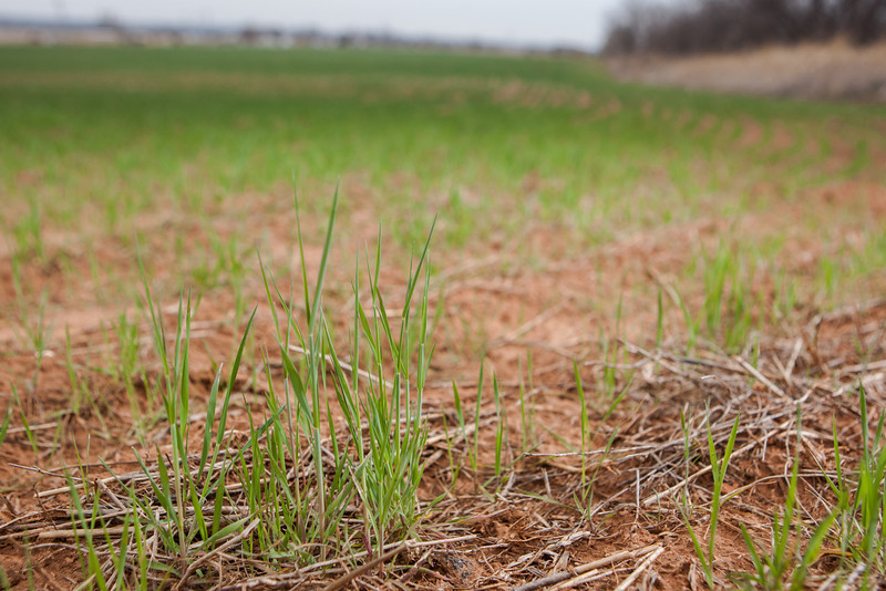 Winter wheat starting to sprout near Moore, OK.