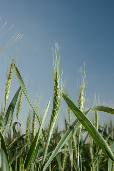Wheat being grown near Piedmont, OK.