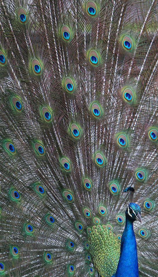 A male peacock at the Tulsa zoo puts on a display.